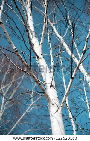 birches against the blue sky