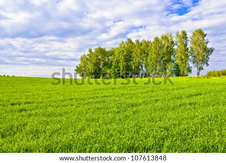 Birches on the border of a green field - stock photo