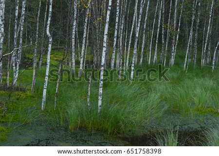 Birches on the swamp