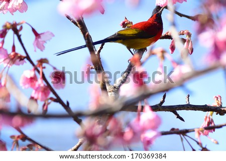 Bird and beautiful Thailand cherry blossom, Chiang Mai, Thailand - stock photo