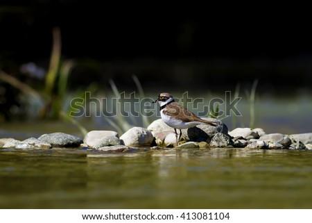 bird and pebble stone Little Ringed Plover / Charadrius dubius - stock photo