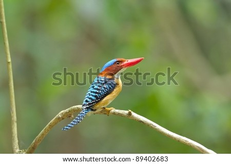 bird [ Banded Kingfisher ] thailand