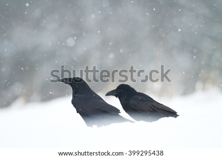 Bird - Black Ravens (Corvus corax) in winter time. Looking for something to eat.