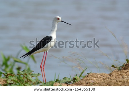 Bird  Black-winged Stilt Himantopus himantopus - stock photo