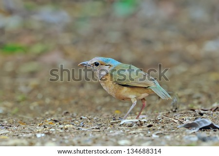 Bird [ Blue-rumped pitta ] Thailand