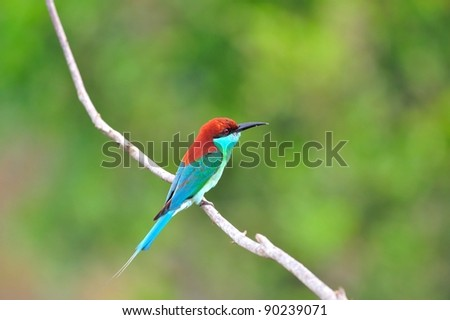 bird [ Blue-throated Bee-eater ] thailand