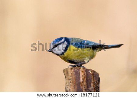 bird - blue tit - stock photo