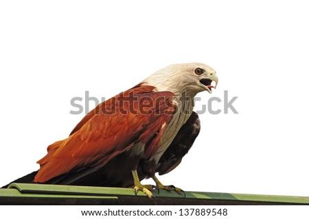 bird (Brahminy Kite) isolated on white background - stock photo