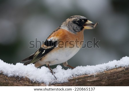 Bird (Brambling) in the snow looking to the right