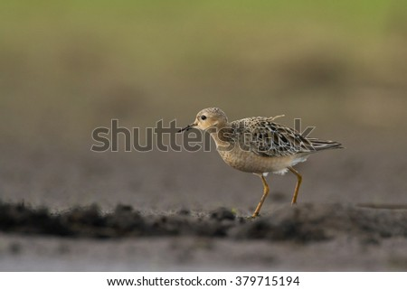 Bird - Buff-breasted Sandpiper (Tryngites subruficollis) extremely rare visitor in Europe, photo taken in Poland - stock photo