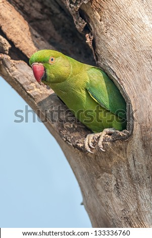 Bird, Cattle Egret, Bubulcus ibis, in breeding plumage, perched on a wooden pole in green background, copy space - stock photo