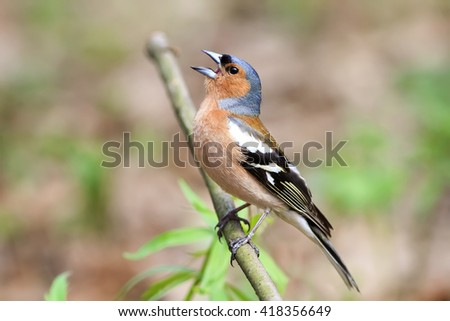 Bird Chaffinch Sings A Song In Spring Forest