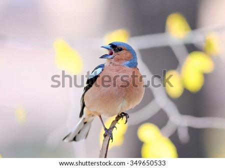 Bird Chaffinch Sings In The Early Spring Song