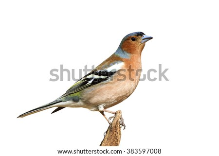 bird Chaffinch sitting on a branch on an isolated background - stock photo
