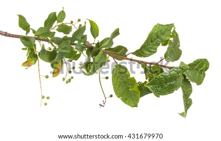 bird cherry tree branch. isolated on white background
