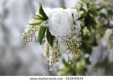 bird-cherry tree covering snow in spring - stock photo