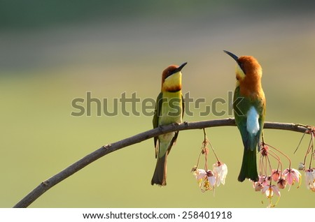 Bird Chestnut-headed bee eater.Khao Yai National park Thailand. - stock photo