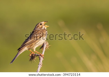 Bird Chirping and Singing Corn Bunting Emberiza calandra  - stock photo