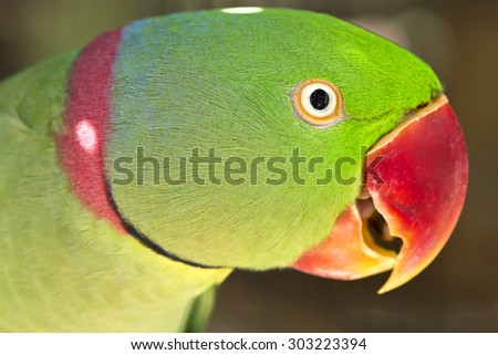 Bird ,Closeup Alexandrine parakeet or Alexandrine parrot (Psittacula eupatria)  - stock photo