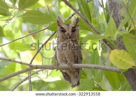 Bird,Collared scops owl, Bird of Thailand - stock photo