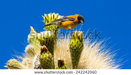 bird collects soft part of the cactus for their nest, Bolivia - stock photo