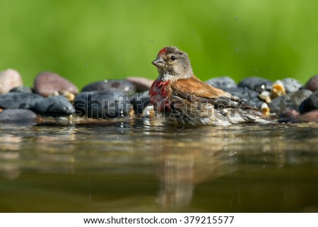 Bird - Common Linnet (Carduelis cannabina)