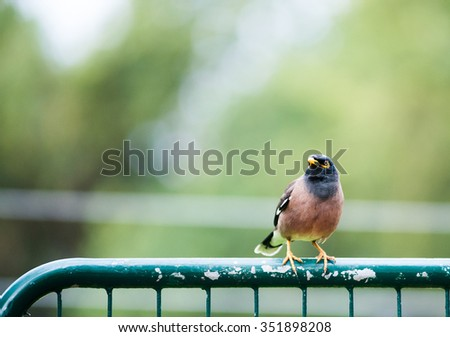 bird Common Myna sitting on a fence
