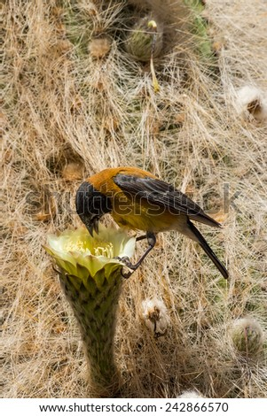 bird eats the sweet nectar and collects  soft part of the cactus for their nest, Bolivia - stock photo