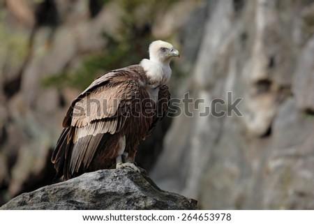 Bird Eurasian Griffon Vulture, Gyps fulvus, sitting on the stone, rock mountain, Spain - stock photo