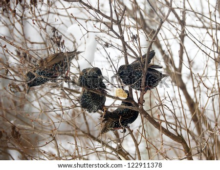 Bird.  European Starlings devouring some frozen peanut butter suet placed in the crook of a tree on a severely cold winter day.