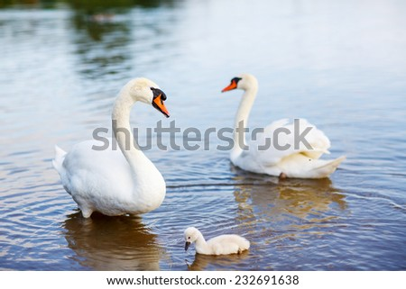 Bird family: swans and cygnet, on a lake. - stock photo