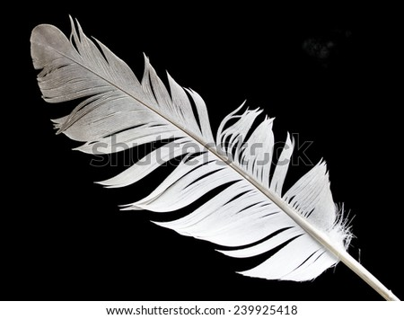 bird feather on a black background - stock photo