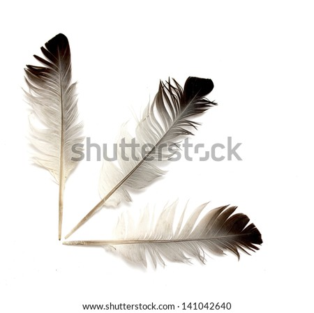 bird feather on white background