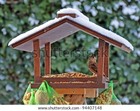 Bird feeder in with funny sparrow in Winter