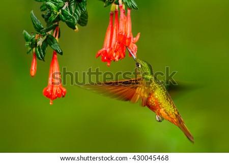 Bird from Peru. Orange and green bird in the forest with red flower. Hummingbird Chestnut-breasted Coronet in the forest. Hummingbird from Peru clouds forest. Flying Hummingbird with red bloom. - stock photo