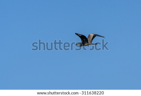 Bird gray heron flying against the blue sky