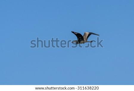 Bird gray heron flying against the blue sky - stock photo