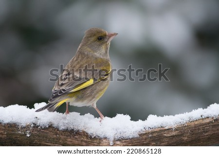 Bird (Greenfinch) in the snow looking to the right