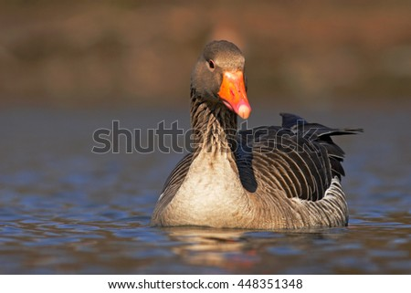 Bird Greylag Goose, Anser anser, floating on the water surface. Bird in the water. Water bird on the lake. Hungary - stock photo