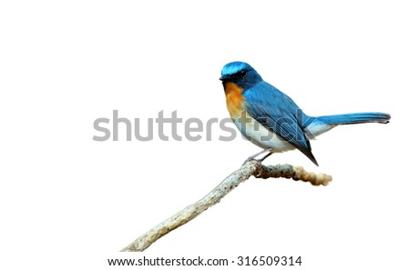 Bird (Hill Blue Flycatcher) isolated on white background   - stock photo