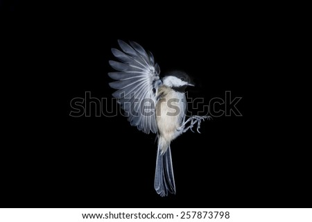 Bird In Flight Black Capped Chickadee  - stock photo