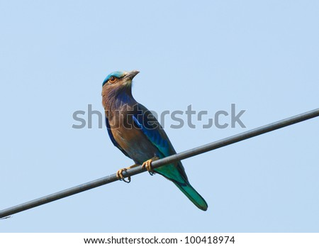 Bird in Thailand (Indian roller) - stock photo