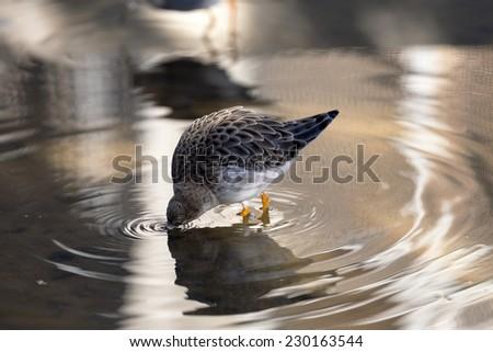 Bird in water - stock photo