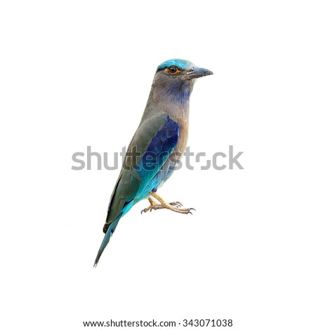 Bird (Indian Roller) isolated on white background - stock photo
