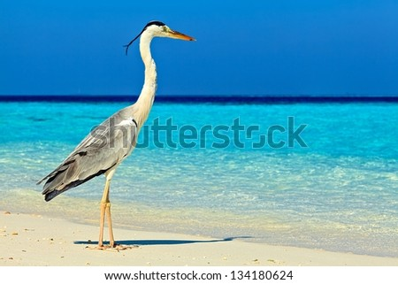 Bird is on the morning beach, Maldives, The Indian Ocean - stock photo
