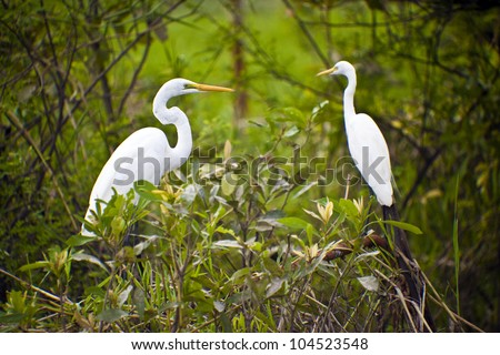 Bird Life of Kakadu National Park  White Egret, Yellow Waters, billabong, Kakadu National Park, Northern Territory, Australia - stock photo