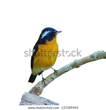Bird Mugimaki Flycatcher on a Branch, isolated on white backgrou