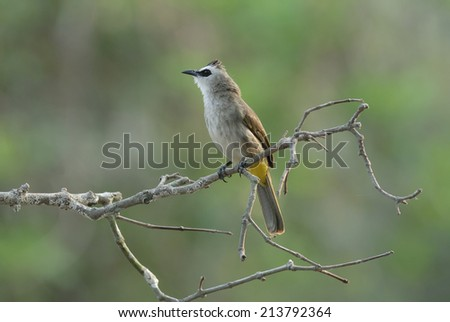 Bird name is Yellow-Vented Bulbul catching on branch - stock photo