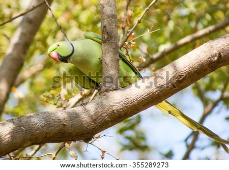 bird named Rose-ringed Parakeet in India