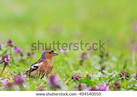 bird of bright spring flowers,Finch among the spring flowers, spring singing birds, green grass, wildlife - stock photo